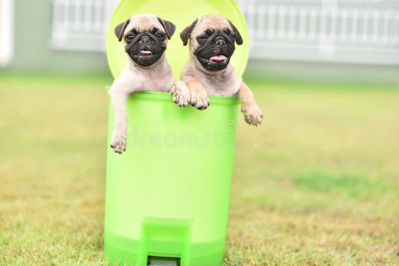 Cute puppy Pug in green bin. Cute puppy brown Pug playing in green bin stock image