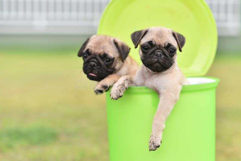 Cute puppy Pug in green bin. Cute puppy brown Pug playing in green bin stock photo