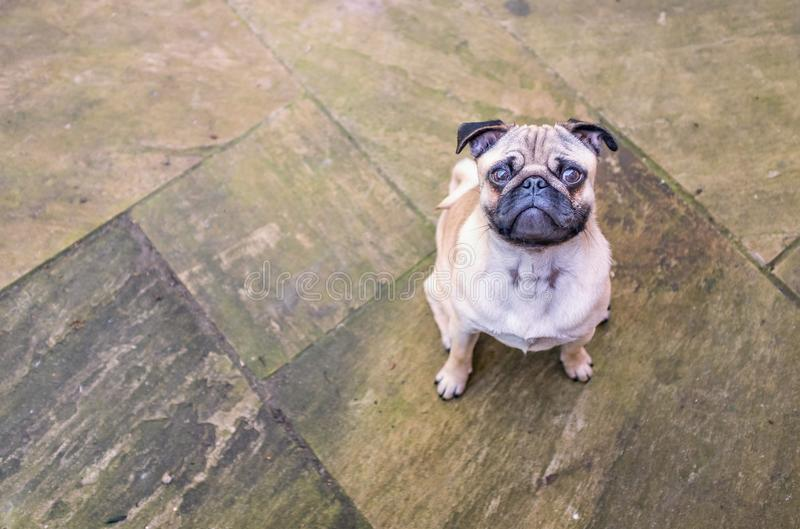 Cute puppy pug looking up from patio stock images