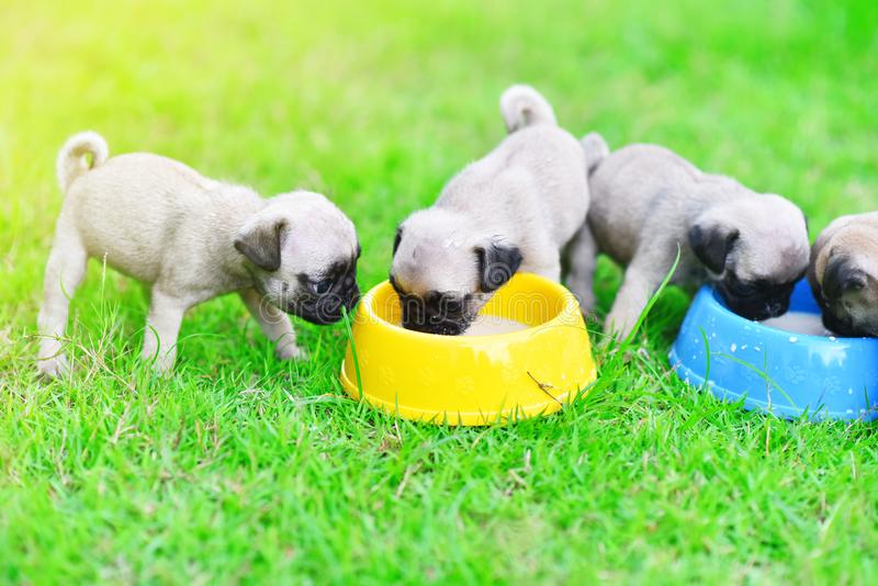 Puppy Pugs eating goat milk royalty free stock photo
