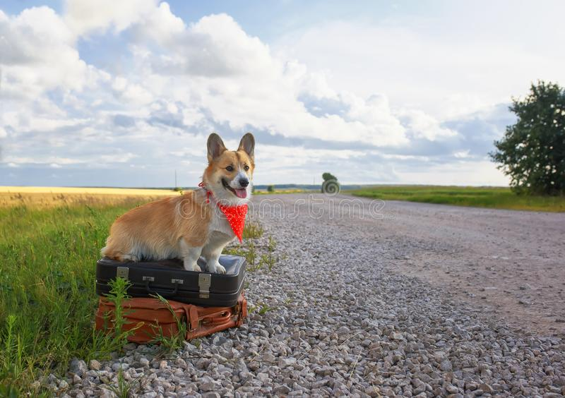 Portrait of a cute puppy of a red Corgi dog sitting on two old suitcases on the road waiting for transport while traveling on stock images