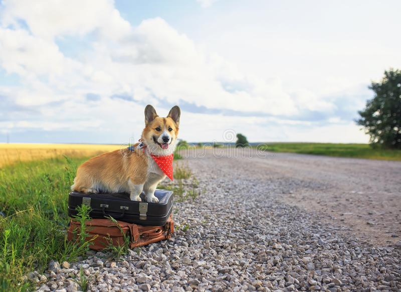 Cute puppy red dog Corgi sits on two old suitcases on a rural road waiting for transport while traveling on a summer day. Cute puppy red dog Corgi sits on two royalty free stock images