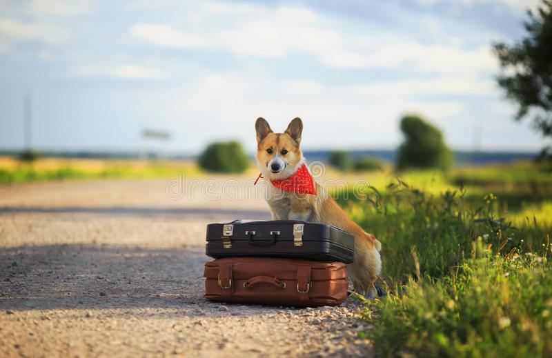 Cute puppy red dog Corgi sits on two old suitcases on a rural road waiting for transport while traveling on a summer day. Dog Corgi sits on two old suitcases on stock photo