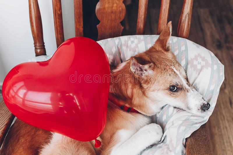 Cute puppy with red heart. happy valentine`s day concept. dog wi. Th red heart balloon in room. vet health care, medicine and blood donation concept. love and royalty free stock photo