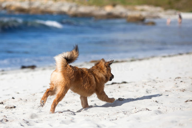 Download Cute Puppy Runs Frolic Along The Beach Stock Photo - Image of running, cute: 26480112