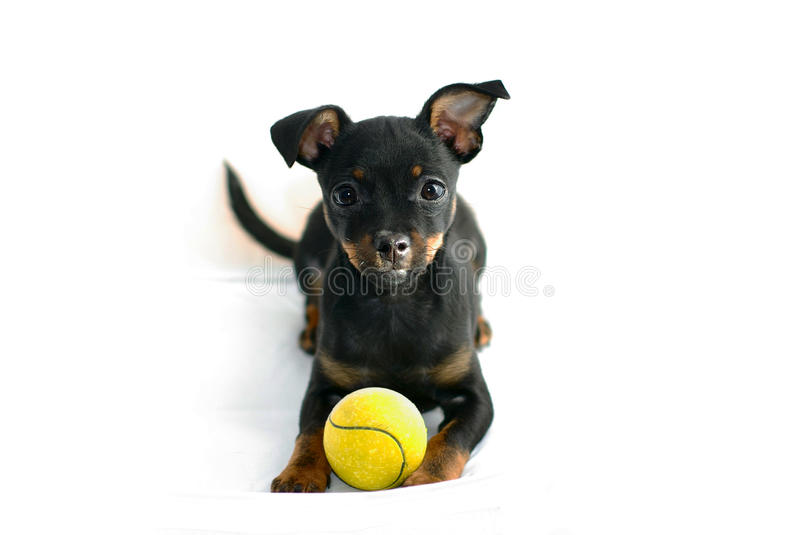 Download Cute Puppy Of Russian Toy-terrier Stock Image - Image: 27343143