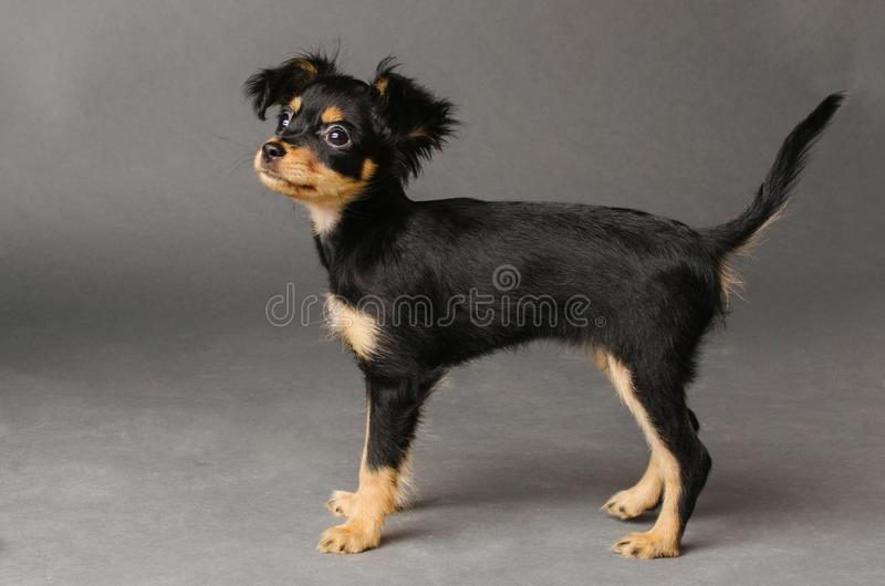 Cute puppy of Russian toy terrier on a gray background royalty free stock photography