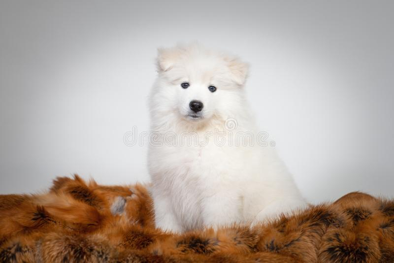 Portrait of cute puppy of Samoyed dog sitting in fur coat stock images