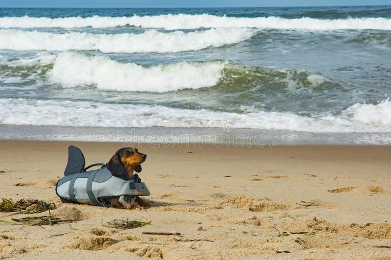 Dachshund Puppy on Cape Cod Beach. A cute puppy in a shark life vest on the beach at Cape Cod Massachusetts stock photography