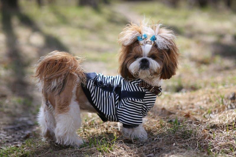 Cute puppy shih tzu dressed stock photos