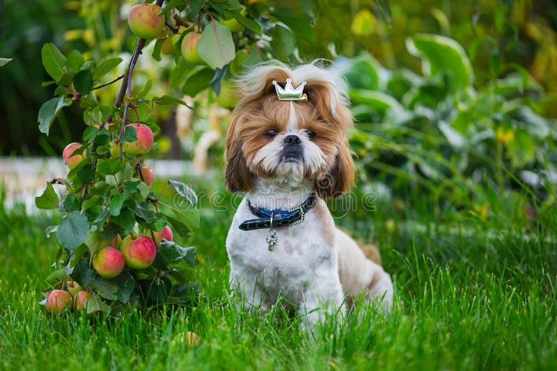 Cute puppy shit zu apple on the background of apples in a garden. Dog on green grass in summer park stock photos
