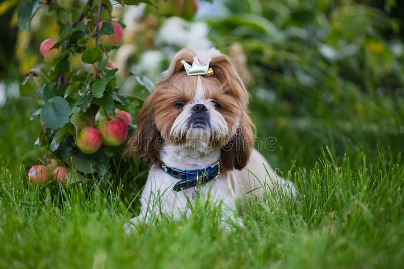 Cute puppy shit zu apple on the background of apples in a garden. stock photography