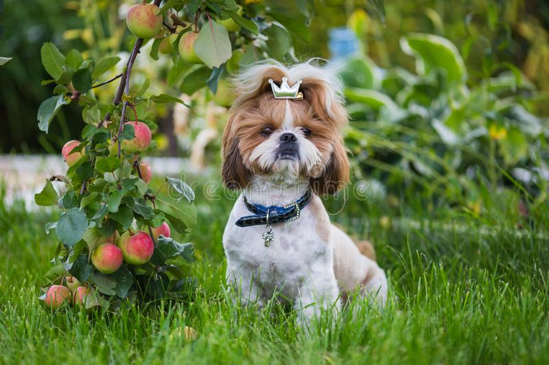 Cute puppy shit zu apple on the background of apples in a garden. royalty free stock photo