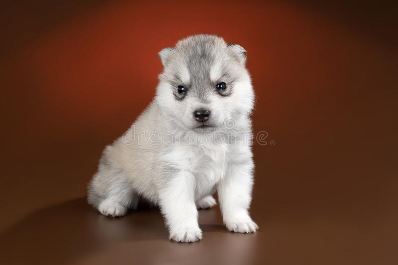 Cute puppy Siberian husky on a brown background royalty free stock image