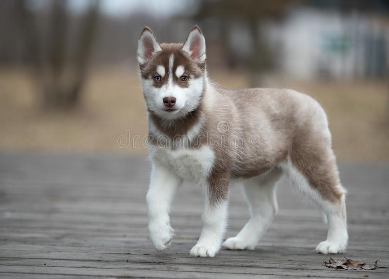 Cute puppy Siberian husky stock image