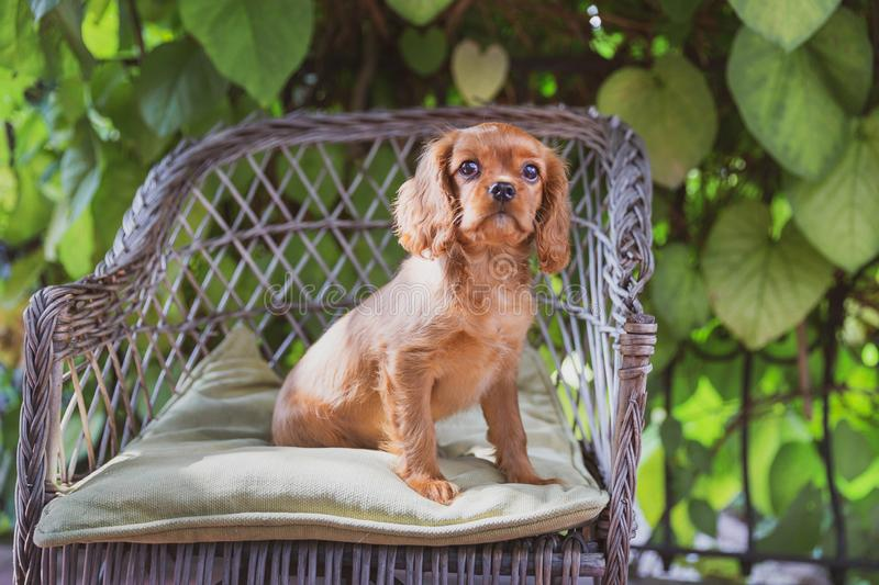 Cute puppy sitting on the chair royalty free stock image
