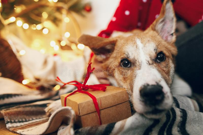 Cute puppy sitting at craft gift box on rug at beautiful chrismas tree with lights and presents. seasonal greetings, happy. Holidays. merry christmas and happy royalty free stock photography