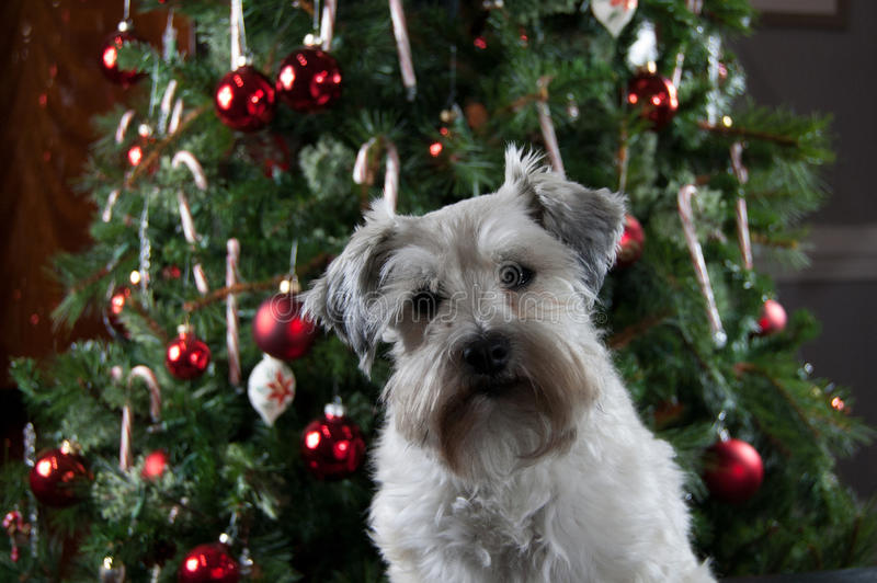 Cute puppy sitting in front of green Christmas tree. White Miniature Schnauzer party mix. royalty free stock photography