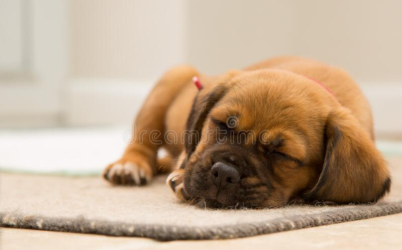 Cute puppy sleeping royalty free stock photography