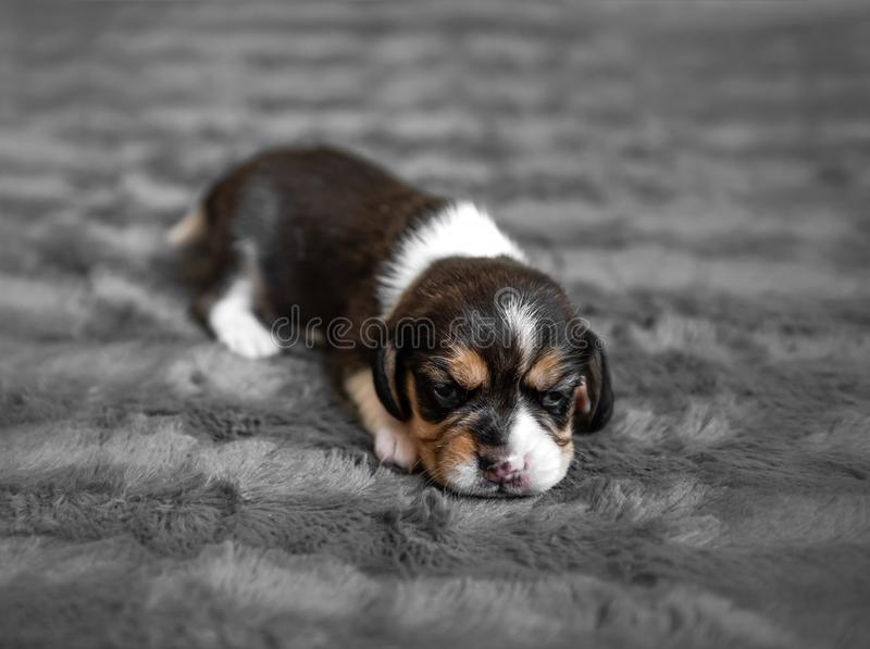 Cute puppy sleeping on veil stock images