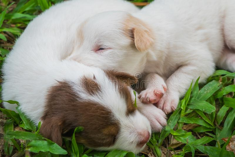 Sweet dreams cute puppy on the grass. Cute puppy sleeps sweet dreams on the grass in the garden on a nice day in thailand royalty free stock image