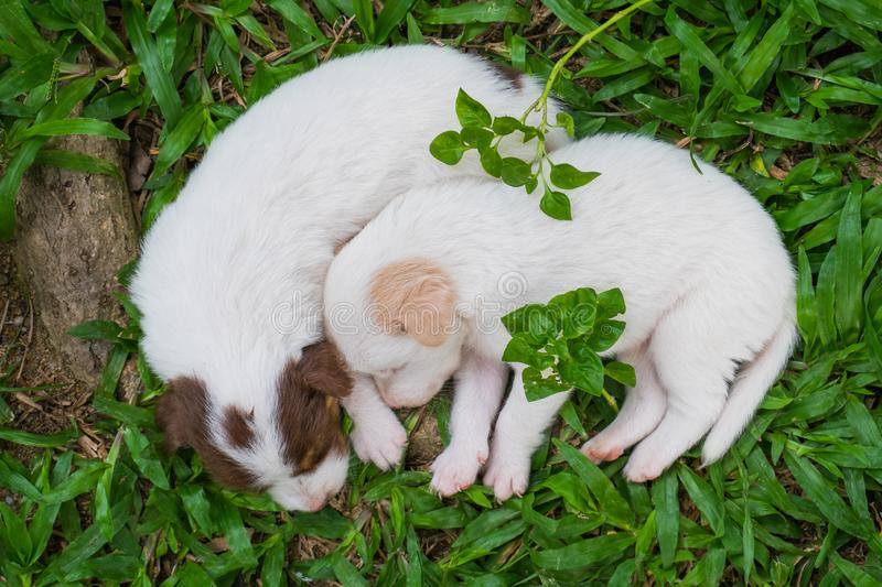 Sweet dreams cute puppy on the grass. Cute puppy sleeps sweet dreams on the grass in the garden on a nice day in thailand royalty free stock photography
