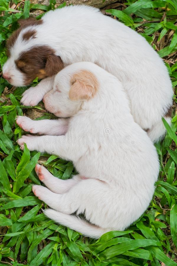 Sweet dreams cute puppy on the grass. Cute puppy sleeps sweet dreams on the grass in the garden on a nice day in thailand stock photos