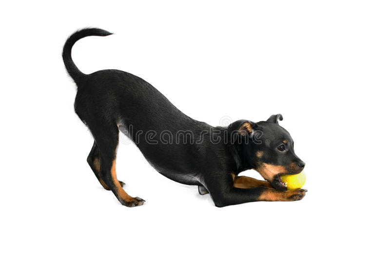 Download Cute Puppy Of Toy-terrier Stock Image - Image: 27343151
