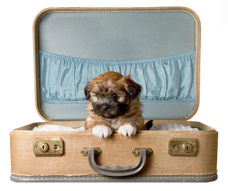 Cute puppy in a vintage suitcase