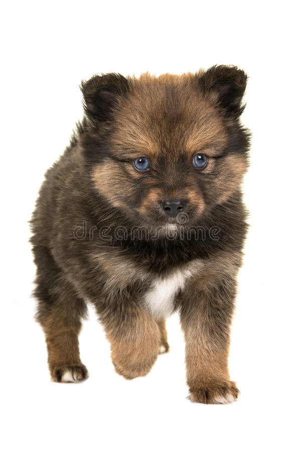 Cute puppy walking to you stock image. Image of puppy ...