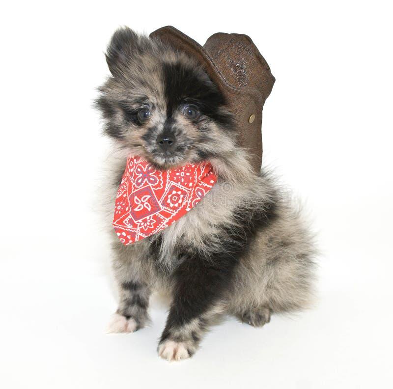 Cowboy Puppy stock photos