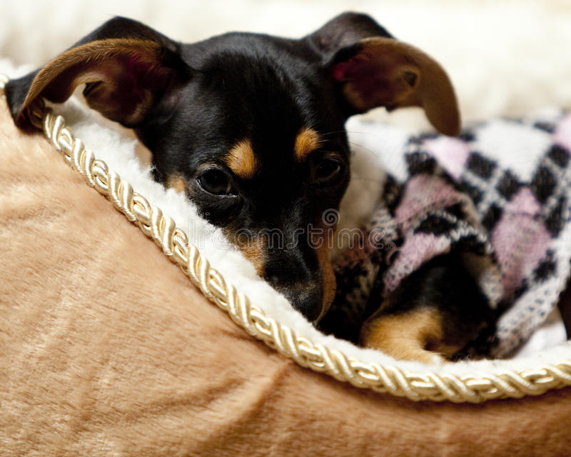 Cute puppy wearing a pink and white sweater. Half Dachshund, half Chihuahua puppy, also known as a Chiaweenie, with big floppy ears, laying down in a tan and stock images