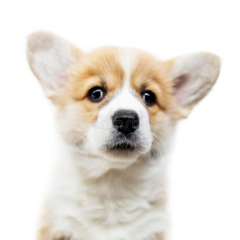 Cute Puppy Welsh Corgi Pembroke isolated on white background. P royalty free stock photography