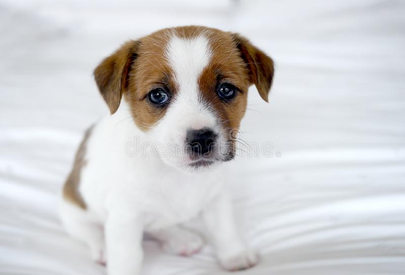 Cute puppy on a white bed royalty free stock images