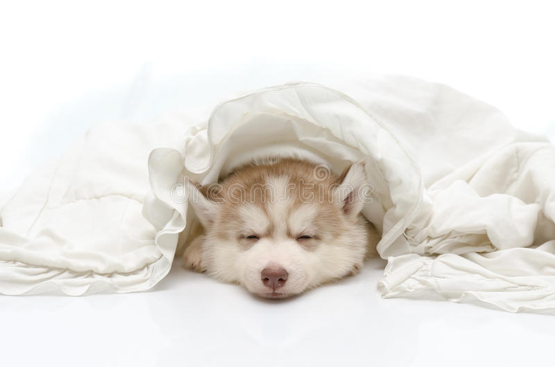 Cute puppy with a white blanket royalty free stock image