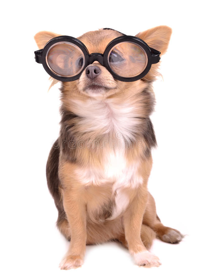 Free Cute Puppy With High Diopter Thick Glasses Stock Photo - 20762730