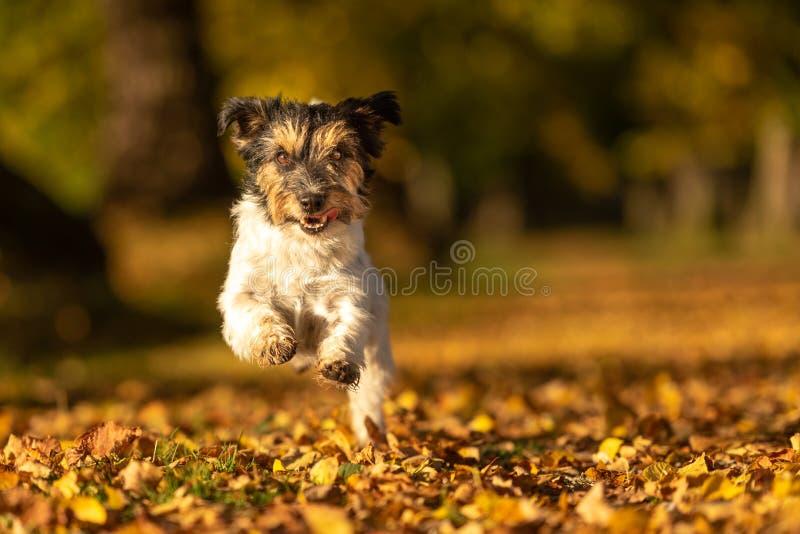 Cute Purebred Jack Russell Terrier Il piccolo cane carino corre nei boschi su un sentiero nelle foglie d'autunno immagini stock