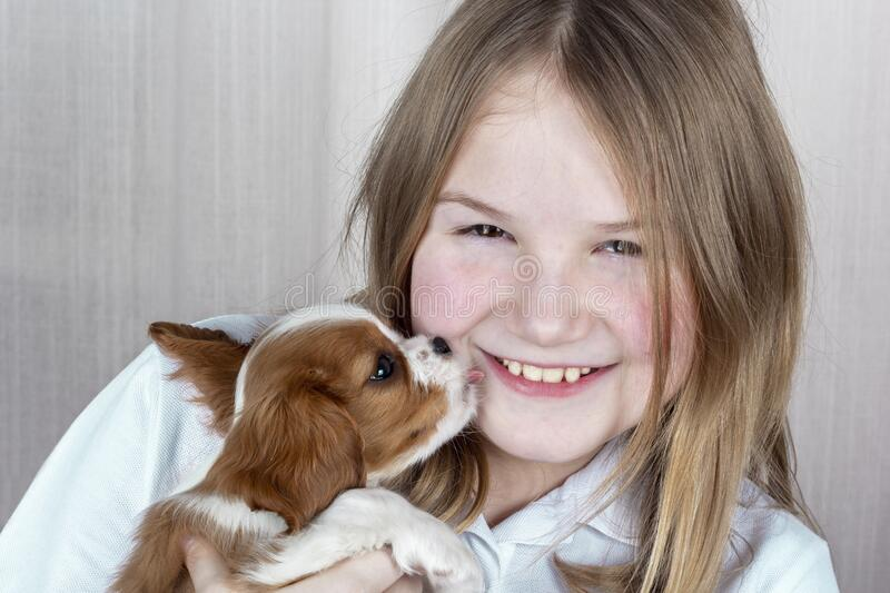 Cute purebred puppy licks face of happy young girl. Royal Cavalier King Charles Spaniel Dog stock photos