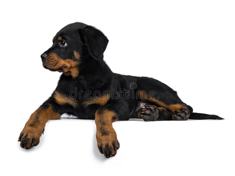 Cute purebred Rottweiler dog pup, Isolated on white background. Cute purebred Rottweiler dog pup laying down side ways, looking with to the side.. Isolated on stock photos