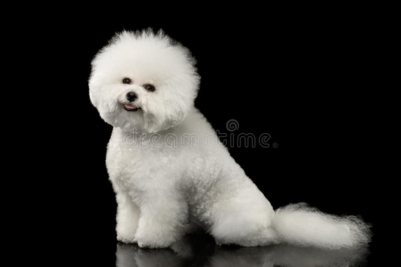 Cute Purebred White Bichon Frise Dog Smiling, Sitting, isolated Black. Purebred White Bichon Frise Dog Smiling, Sitting and Looking in Camera isolated Black royalty free stock image