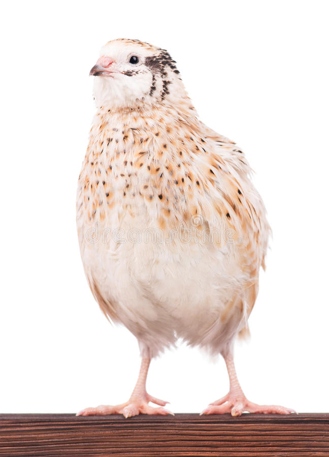 Cute quail. Cute adult quail on the perch isolated over white background royalty free stock photography