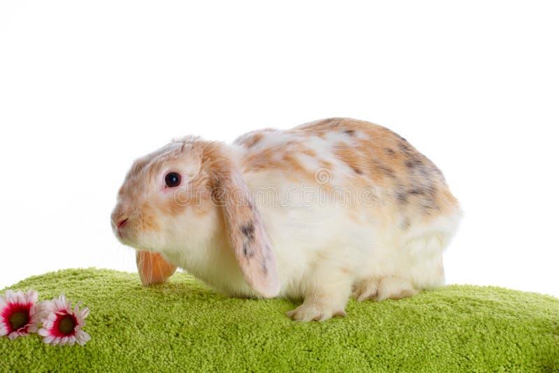 Cute Rabbit Royalty Free Stock Photography