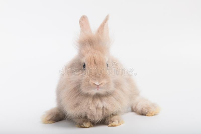 A cute rabbit with brown fluffy fur, a big fat body lying on a white background. royalty free stock photo