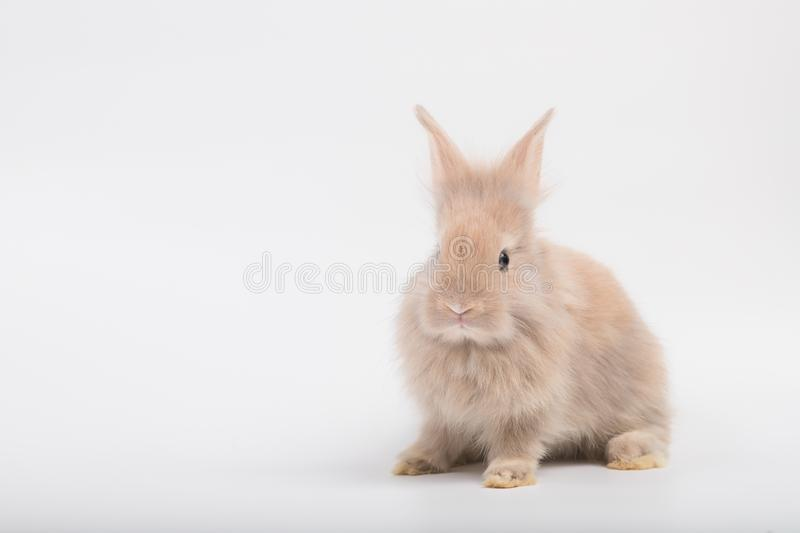 A cute rabbit with brown fluffy fur, lying on a white background. royalty free stock photography