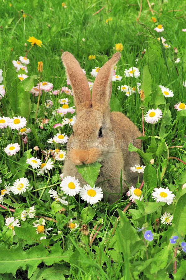 Cute Rabbit Eating Leaf In Summer Royalty Free Stock Images