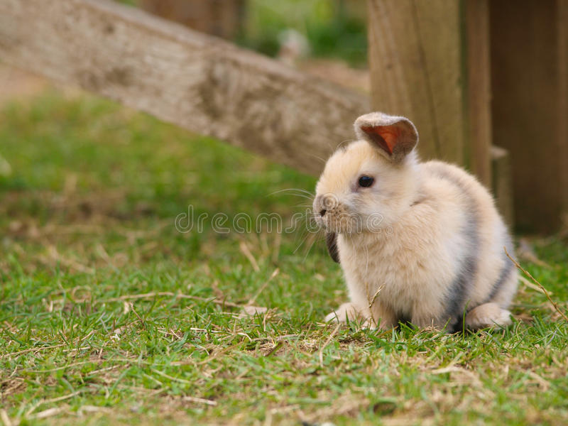 Cute Rabbit. A cute rabbit with floppy ears sits on the grass royalty free stock image