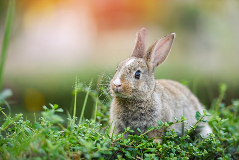 Cute rabbit sitting on green field spring meadow / Easter bunny hunt for festival on grass stock image