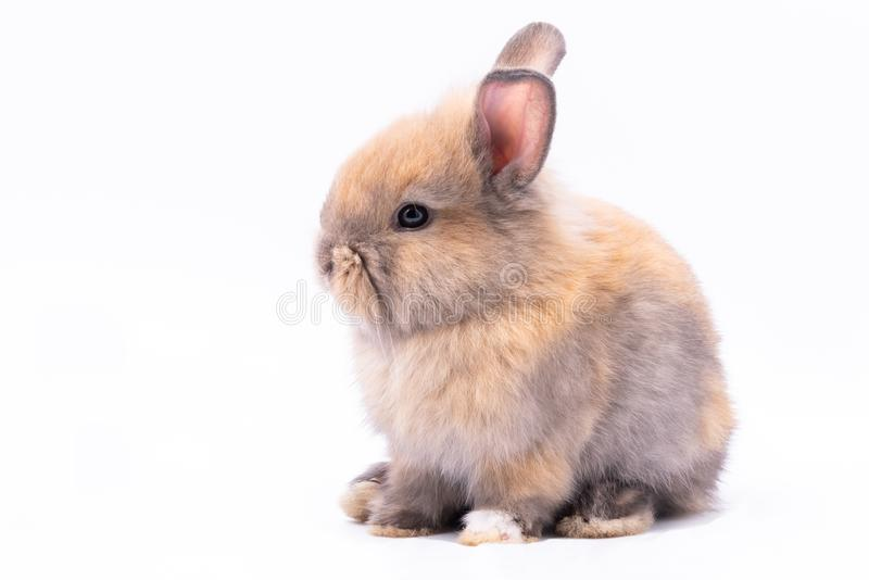 Cute rabbits  on white Isolated background. Baby cute rabbits has a pointed ears, brown fur and sparkling eyes, on white Isolated background, to Easter festival stock images