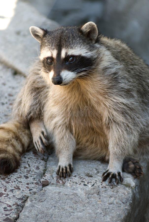 Download Cute raccoon stock photo. Image of racoon, raccoon, stares - 9625188