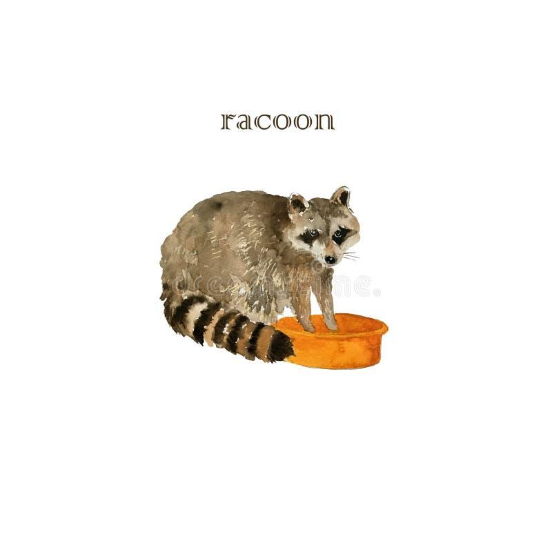 Cute raccoon animal washing cloths. Watercolor. Cute raccoon animal. Watercolor isolated racoon washing cloths stock illustration